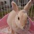 Pet of the Month-Mini-rabbit
